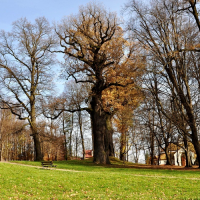 European Tree of the Year - a Hiding Place During the Holocaust